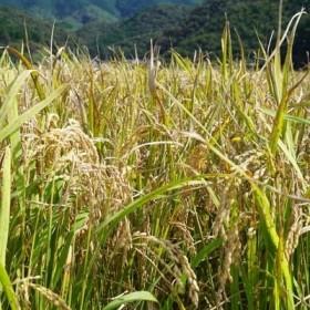 【令和元年産 新米】蕨岡で栽培!四万十市産コシヒカリ 10kg