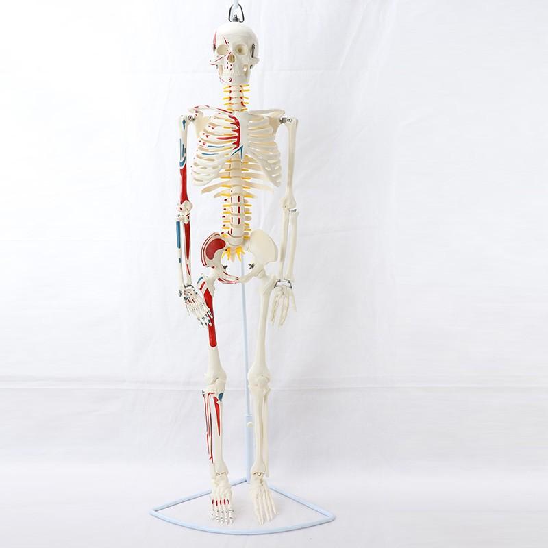 醫學85CM掛式人體骨骼模型神經肌肉起止骨架瑜伽教學脊柱用 MGG204