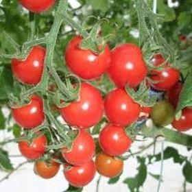 高松産季節の果物【ミニトマト】約2.7kg