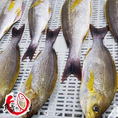 【魚博士-魚霸】野生現撈黃雞魚200~250g(3包入)