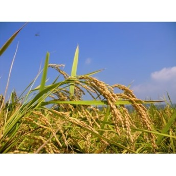【9月限定】【令和元年産 新米】しまんと農法米(こしひかり)10kg
