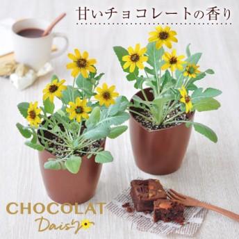 チョコレート デイジー 栽培セット