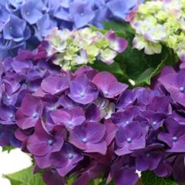 (観葉植物)ハイドランジア(セイヨウアジサイ) 花色おまかせ 4号(1鉢) 開花終了株 北海道冬季発送不可
