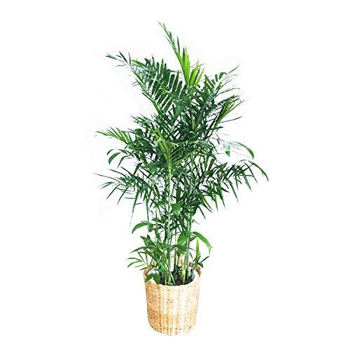 10号 プレゼント オーガスタ 本物 大鉢 大きい 大型 観葉植物 お祝い 10号 インテリア 尺鉢 ウッド調鉢カバー付き 自宅用 大サイズ オシャレ