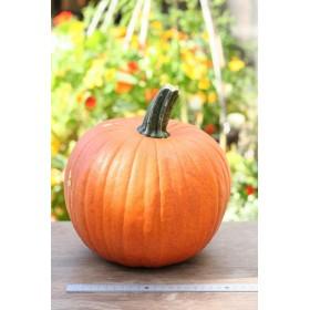 ハロウィンかぼちゃLサイズ(生カボチャ) 飾り南瓜 ジャック・オー・ランタン用