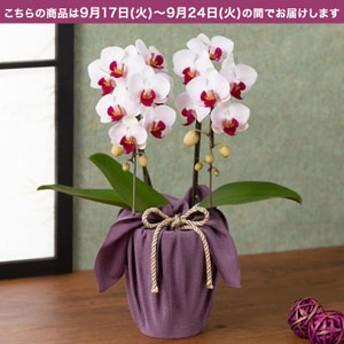 【敬老の日フラワーギフト】 鉢植え「長寿を祝う胡蝶蘭=葡萄=」