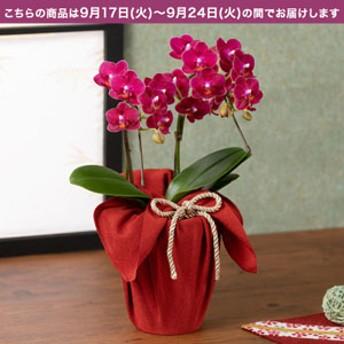 【敬老の日フラワーギフト】 鉢植え「長寿を祝う胡蝶蘭=茜=」