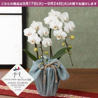 【敬老の日フラワーギフト】 鉢植え「長寿を祝う胡蝶蘭=白絹=」