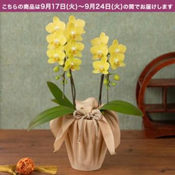 【敬老の日フラワーギフト】 鉢植え「長寿を祝う胡蝶蘭=山吹=」