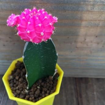 ポットごと ピンクの緋牡丹 育児書付き 多肉植物 サボテン ガーデニング インテリア