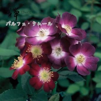 【予約苗】禅ローズ パルフェ タムール 大苗 7号鉢 紫系 LCL