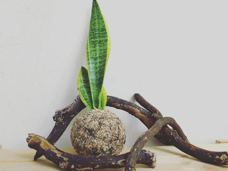 芊艸手作/ 多肉系列苔球 - 虎尾蘭
