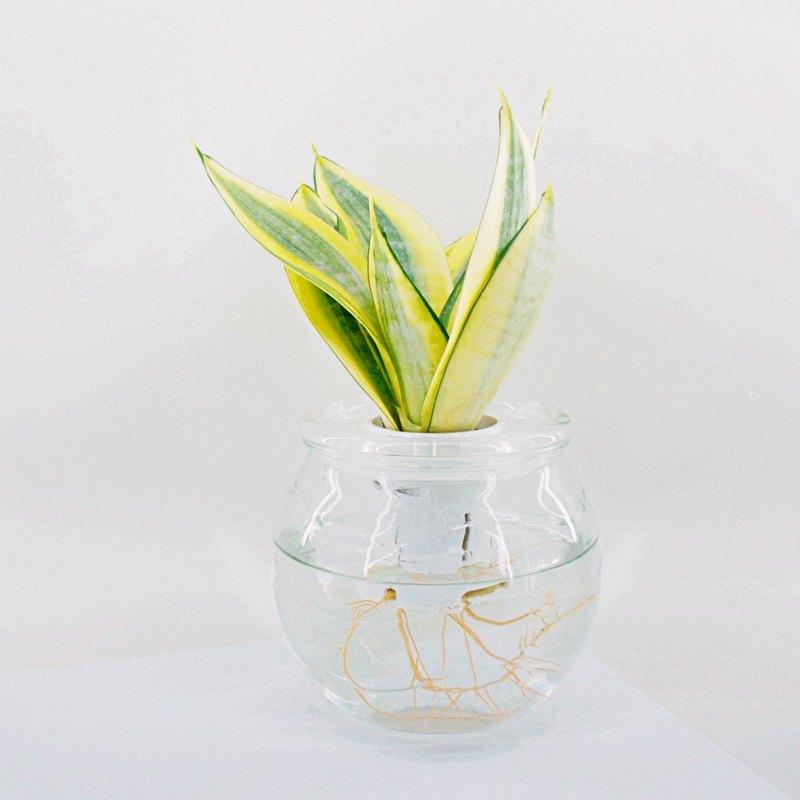 / 水耕玻璃 / 黃金虎尾蘭