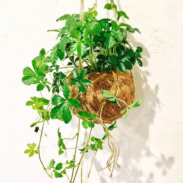 観葉植物 可愛いココヤシとシュガーバイン ハンギングプランツ