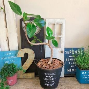 在庫一掃SALE 現品【くねっとアルテシーマ】おしゃれグリーン 人気の観葉植物!黒系ブリキ鉢