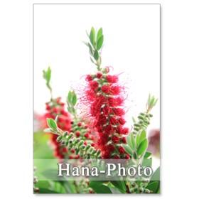 1112) ブラシの木、ライラック、テマリカンボク、バラ 5月の花 ポストカード5枚組