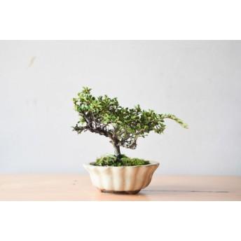 小品盆栽 ベニシタン no.195
