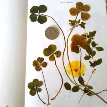 枯れ感 五つ葉 四つ葉のクローバー 押し花