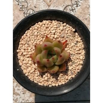 フランクココ エケベリア 多肉植物