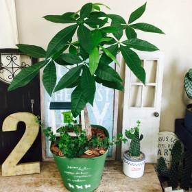 現品 ピックつき【パキラ&アイビー】緑ブリキ鉢入り! オシャレな大きめ観葉植物♪