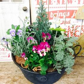 新作 現品【3色ビオラ入り 秋冬寄せ植え】ナチュラルピック付!お花&グリーン 黒ブリキ鉢