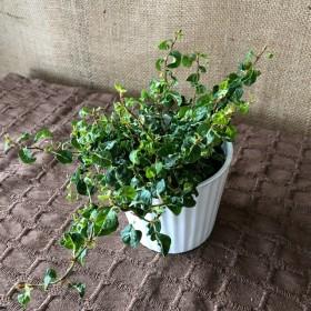 フィカス プミラ コアラ☆陶器鉢、送料無料★