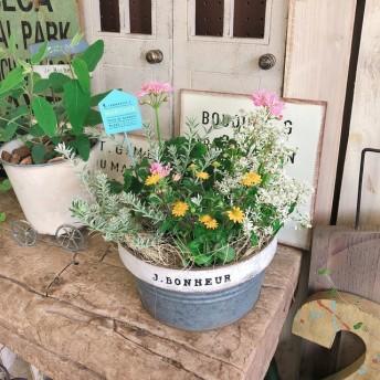新作 現品【優しい色合い寄せ植え】八重咲きゼラニューム&黄色の小花♪ツートンカラーブリキ鉢入り♪