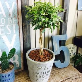 再販ラスト 【ベンジャミン ニコル】カジュアルグリーン 陶器鉢入り!オシャレな斑入り観葉植物♪