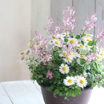 秋風にそよぐ♪やわらかピンクのピレオ菊の寄せ植え