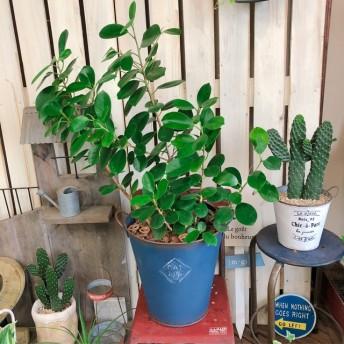 現品SALE【大きめ パンダガジュマル】幸せの木 人気観葉植物 アンティーク風 紺色系ブリキ鉢
