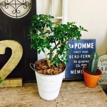 新作 現品【シェフレラ】コンパクトグリーン 人気の観葉植物!白系ブリキ鉢