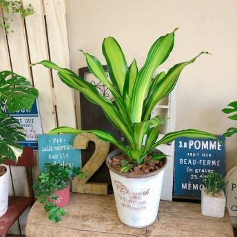 新作 現品【ドラセナ マーリー】カッコイイ観葉植物 おしゃれ白系ブリキ鉢♪珍しい品種