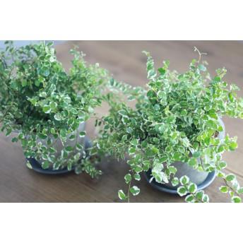 ふわふわプミラサ二ーのモスポット植え