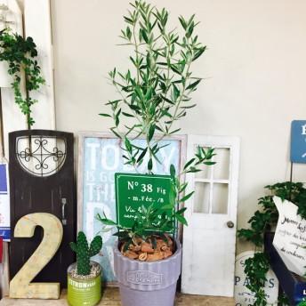 現品 大きめ【オリーブの木】緑ピックつき シンボルツリーに 陶器鉢入り♪グレー
