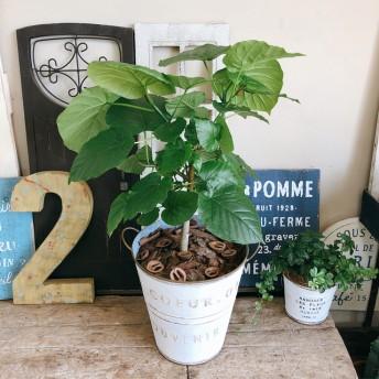 新作 現品【ウンベラータ】可愛いハートリーフ 人気観葉植物!白系ブリキ鉢♪