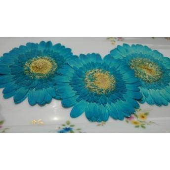 押し花素材。ガーベラ染め水色3輪
