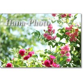 1353)バラのある風景 ポストカード5枚組