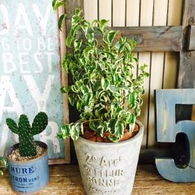 新品 レア【ベンジャミン シタシオン】個性派!クルクル葉っぱのオシャレな斑入りグリーン 陶器鉢
