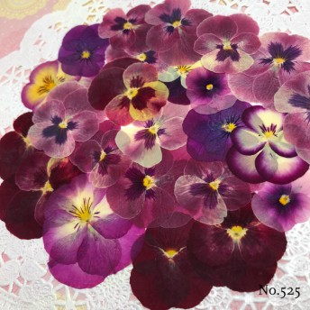 new 作家様必見 赤花処理済み 人気のビオラ 押し花セット