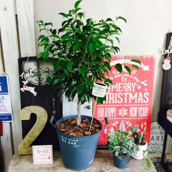 ラストです!現品SALE 半額【ベンジャミン】かっこいいブリキ鉢!すてきなグリーン 人気の観葉植物♪