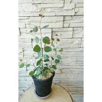 ユーカリ ポポラスのアンティーク鉢植え