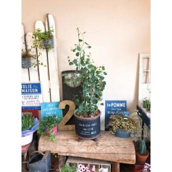 新作 現品【大きめ ユーカリ ポポラス】かっこいい黒色ブリキ鉢 人気の観葉植物♪シンボルツリーにも