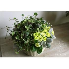 【1点もの】八重咲きジュリアンとグリーンのギャザリング-季節の花の寄せ植え-