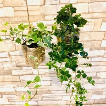 インテリアセット『シュガーバイン&アイビーホワイトワンダー』壁掛けインテリア 観葉植物(No.312)
