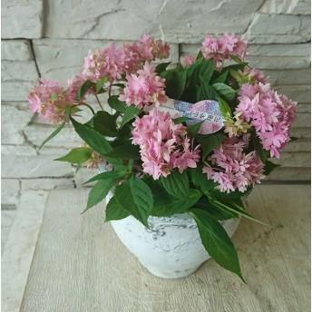 山紫陽花 鉢植え