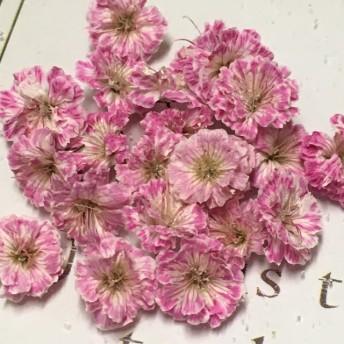 再販 かすみ草 ドライフラワー white pink