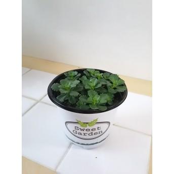 セダムステファニーゴールド☆観葉植物