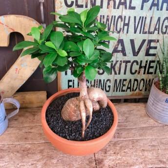 現品SALE【和 ガジュマル】幸せの木 風水でも大人気 観葉植物 陶器鉢