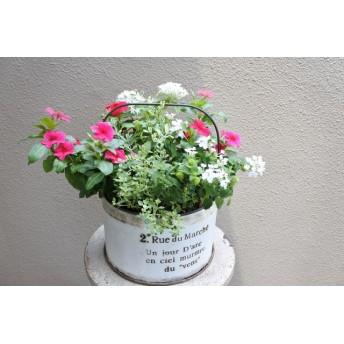 ニチニチソウ ビンカ「タトゥー」とかわいいお花の寄せ植え