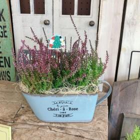 新作 ラスト【カルーナ 濃淡寄せ植え】水色ブリキ鉢!寒さに強いお花♪クリスマスピックつき